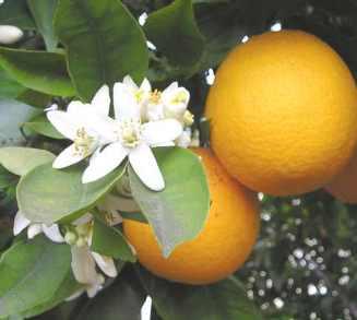 Bigaradier Citrus aurantium