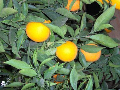 citronnieragrumes.jpg