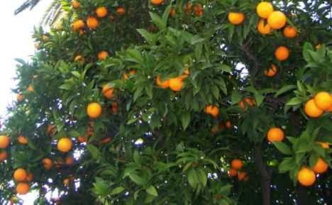 planter un mandarinier en pleine terre