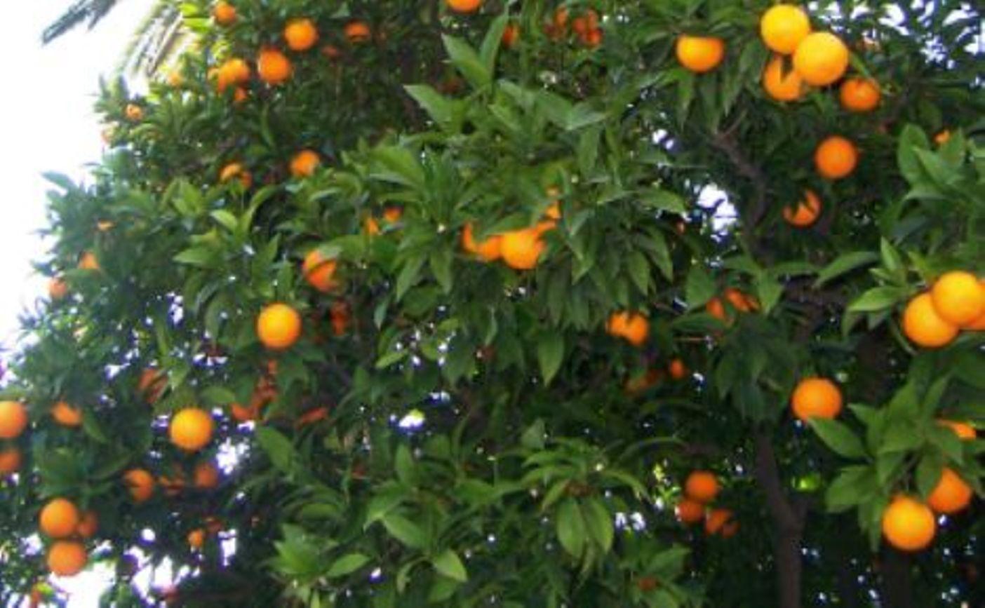 Les agrumes citrus fortunella poncirus les agrumes - Agrumes en pot ...